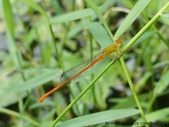 昆蟲相簿:紅腹細蟌♂ 植物園