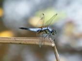 昆蟲相簿:橙斑蜻蜓 台北市區 榮星公園