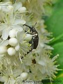 昆蟲相簿:黑胸長腳金龜 七星山區