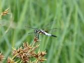 昆蟲相簿:橙斑蜻蜓 基隆 槓子寮