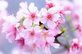 麗池櫻花:20160221_2188.jpg
