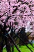 麗池櫻花:20160227_3995.jpg