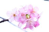 麗池櫻花:20160221_2201.jpg