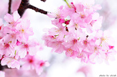 麗池櫻花:20160223_3938.jpg
