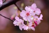 麗池櫻花:20160223_3899.jpg
