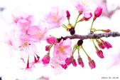 麗池櫻花:20160223_3975.jpg