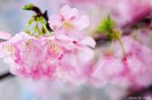 麗池櫻花:20160227_3992.jpg