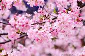 麗池櫻花:20160223_3977.jpg
