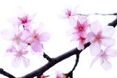 麗池櫻花:20160221_2203.jpg