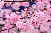 麗池櫻花:20160223_3978.jpg