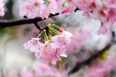 麗池櫻花:20160227_3987.jpg