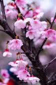 麗池櫻花:20160221_2176.jpg