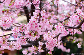 麗池櫻花:20160223_3932.jpg