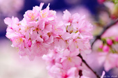 麗池櫻花:20160223_3916.jpg