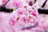 麗池櫻花:20160227_3989.jpg
