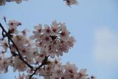 關西の百選春櫻饗宴 DAY3 京都 080408:嵐山
