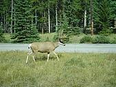 2006加拿大洛磯山脈:195 - 班夫國家公園-Elk (1)