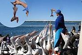2008澳洲-黃金海岸:鵜鶘=大嘴鳥 (09) 餵食中拷貝.jpg
