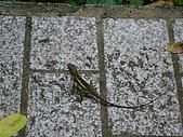 夏の墾丁:墾丁隨處可見的蜥蜴.JPG