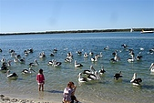 2008澳洲-黃金海岸:鵜鶘=大嘴鳥 (12) 沒有食物了, 歸去歸去.JPG