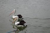 2008澳洲-黃金海岸:鵜鶘=大嘴鳥 (02) 閒情意緻.JPG