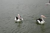 2008澳洲-黃金海岸:鵜鶘=大嘴鳥 (03) 閒情意緻.JPG