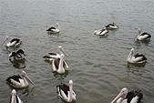 2008澳洲-黃金海岸:鵜鶘=大嘴鳥 (04) 數大變是美.JPG