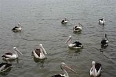 2008澳洲-黃金海岸:鵜鶘=大嘴鳥 (05) 數大變是美.JPG