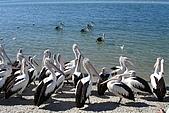 2008澳洲-黃金海岸:鵜鶘=大嘴鳥 (07) 等待餵食.JPG