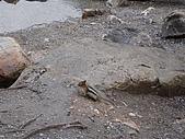 2006加拿大洛磯山脈:181 - 夢蓮湖 Moraine Lake-金栗鼠Golden Mantled Ground Squirrel (19)