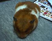 家鼠們:四月初的芋頭ˊˇˋ