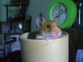 家鼠們:芋頭