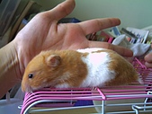 家鼠們:黃金鼠大小
