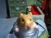 家鼠們:酣布丁