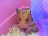 家鼠們:睡醒的芋頭
