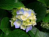 繡球花:Hydrangeas.jpg