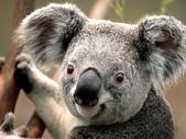 繡球花:Koala.jpg