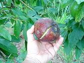自由馨正種植專區:20110821採果天倫樂 025.jpg
