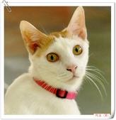 我的貓貓日記:DSC_0546阿左.jpg