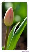 2011年球卉花展:nEO_IMG_DSC_3684.jpg