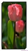 2011年球卉花展:nEO_IMG_DSC_3686.jpg
