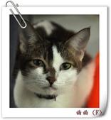 我的貓貓日記:DSC_8737曲曲.jpg