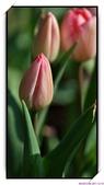 2011年球卉花展:nEO_IMG_DSC_3695.jpg