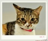 我的貓貓日記:DSC_0578甜甜.jpg