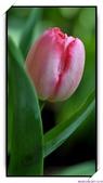 2011年球卉花展:nEO_IMG_DSC_3696.jpg