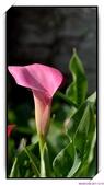2011年球卉花展:nEO_IMG_DSC_3657.jpg