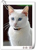我的貓貓日記:DSC_0710小白.jpg