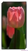2011年球卉花展:nEO_IMG_DSC_3685.jpg