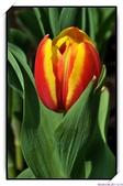 2011年球卉花展:nEO_IMG_DSC_3803.jpg