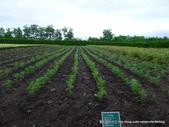 20110714富良野富田農場:P1180282.JPG